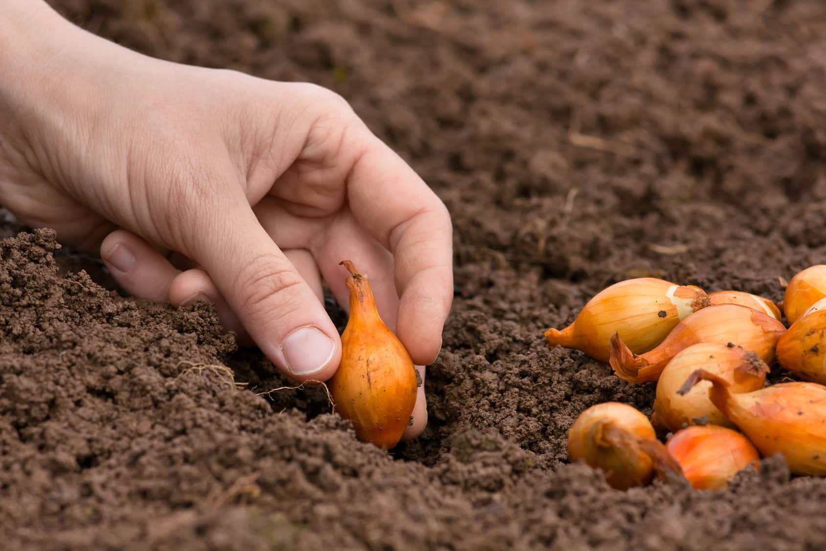 Démarrer la culture de l'oignon par la plantation manuelle