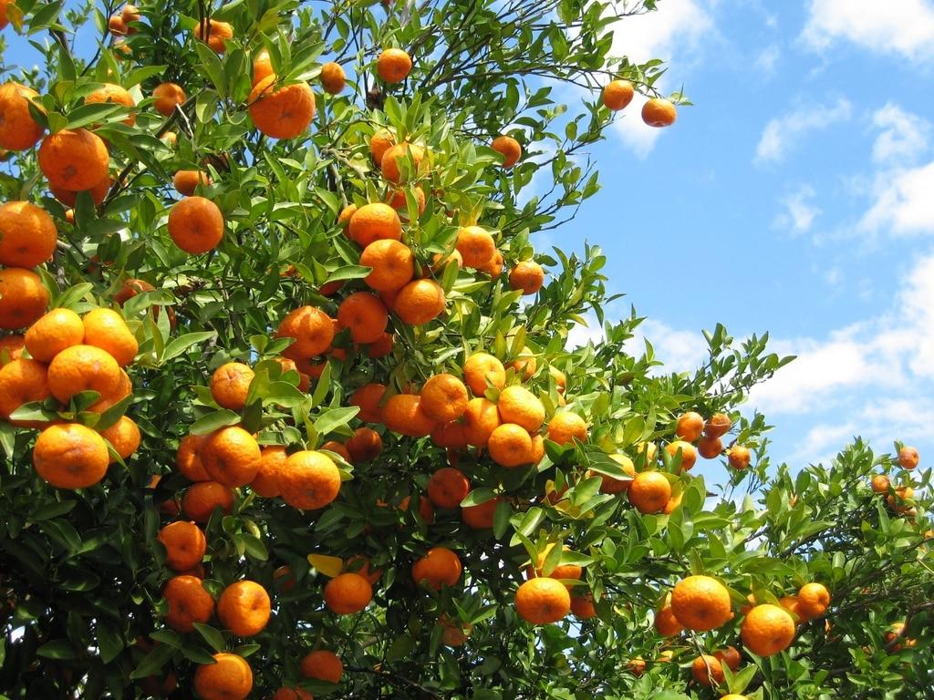 Un champ d'oranges mûres