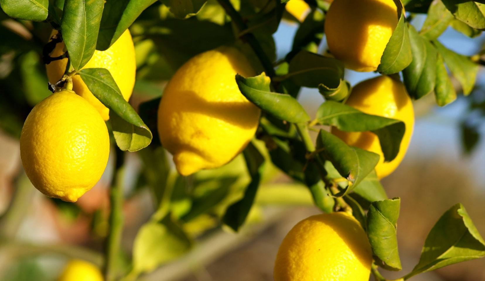 Une plantation de citrons